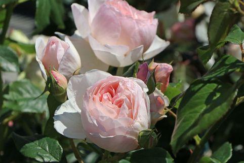 Englische Rose 'Heritage' ® - Rosa 'Heritage' ®