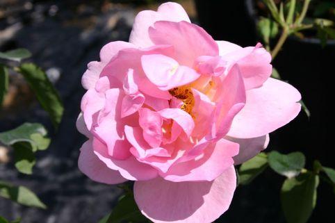Englische Rose 'Hero' - Rosa 'Hero'