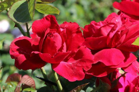 Englische Rose 'L.D. Braithwaite' ® - Rosa 'L.D. Braithwaite' ®