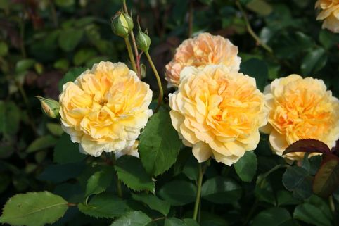 Englische Rose 'Molineux' ® - Rosa 'Molineux' ®