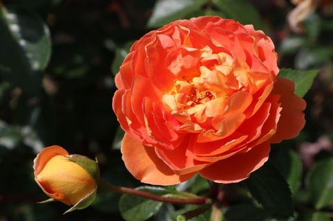 Englische Rose 'Pat Austin' ® - Rosa 'Pat Austin' ®