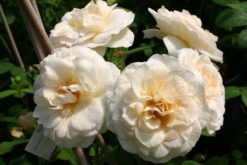 Englische Rose 'Perdita' ® - Rosa 'Perdita' ®