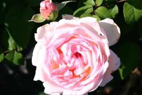 englische rose 39 sharifa asma 39 rosa 39 sharifa asma 39 baumschule horstmann. Black Bedroom Furniture Sets. Home Design Ideas