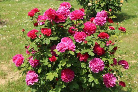 Englische Rose 'Sophy's Rose' - Rosa 'Sophy's Rose'