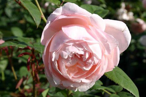 Englische Rose 'St. Cecilia' ® - Rosa 'St. Cecilia' ®