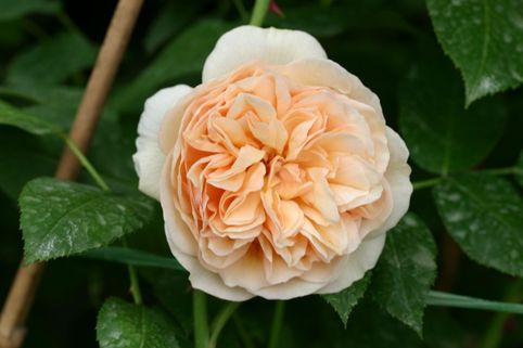 Englische Rose 'Sweet Juliet' ® - Rosa 'Sweet Juliet' ®