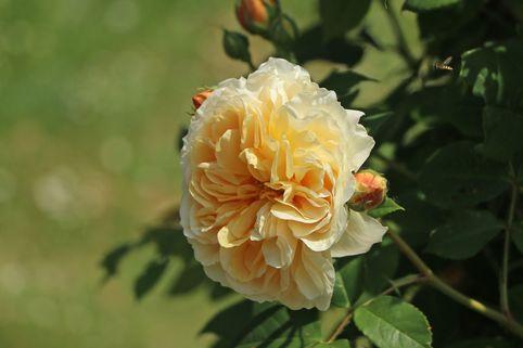 Englische Rose 'Teasing Georgia' - Rosa 'Teasing Georgia'