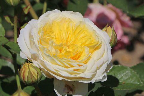 Englische Rose 'The Pilgrim' ® - Rosa 'The Pilgrim' ®