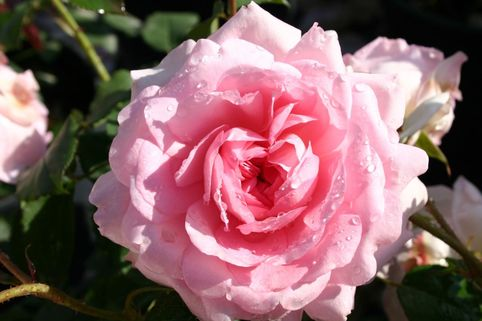 Englische Rose 'Wife of Bath' - Rosa 'Wife of Bath'