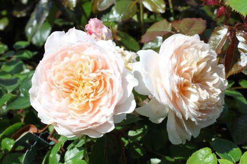 Englische Rose 'Wild Eve' - Rosa 'Wild Eve'