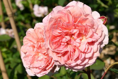 Englische Rose 'William Morris' - Rosa 'William Morris'