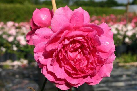 Englische Rose 'Wise Portia' - Rosa 'Wise Portia'