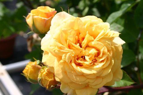 Englische Rose 'Yellow Charles Austin' - Rosa 'Yellow Charles Austin'