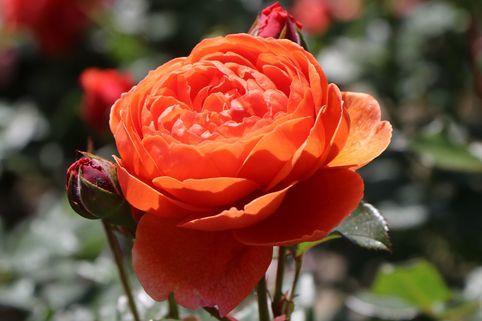 Englische Strauchrose 'Summer Song' ® - Rosa 'Summer Song' ®
