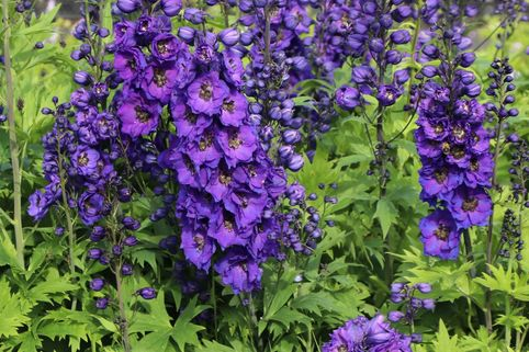 Englischer Rittersporn 'Secret' - Delphinium x cultorum 'Secret'