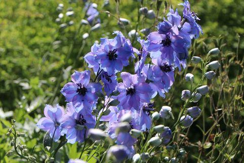 Englischer Rittersporn 'Starlight' - Delphinium x cultorum 'Starlight'