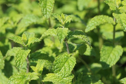 Erdbeer-Minze - Mentha species