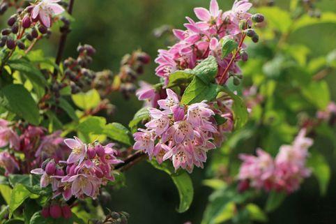 Erdbeerduft Deutzie / Sternchenstrauch 'Strawberry Field' - Deutzia hybrida 'Strawberry Field'