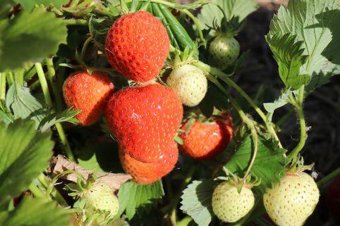 Erdbeere 'Korona' (S) - Fragaria 'Korona' (S)