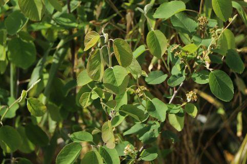 Erlenblättrige Felsenbirne Greatberry ® 'Fruity' - Amelanchier alnifolia Greatberry ® 'Fruity'