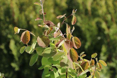 Erlenblättrige Felsenbirne 'Northline' - Amelanchier alnifolia 'Northline'