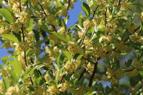 Essbare Ölweide / Vielblütige Ölweide - Elaeagnus multiflora