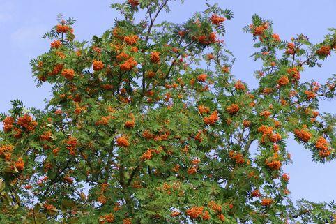 Essbare Vogelbeere / Eberesche 'Edulis' - Sorbus aucuparia 'Edulis'