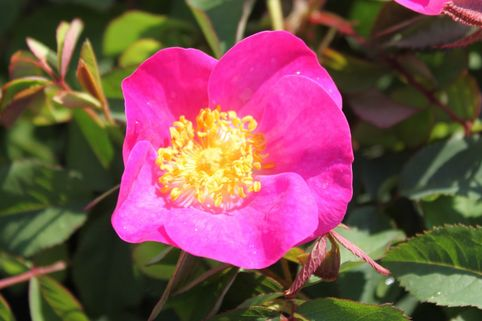 Essig-Rose - Rosa gallica