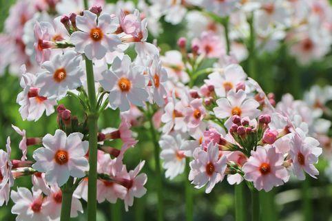 Etagen-Schlüsselblume 'Appleblossom' - Primula japonica 'Appleblossom'
