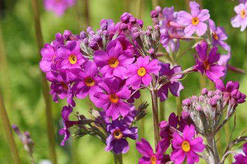 Etagen-Schlüsselblume - Primula beesiana