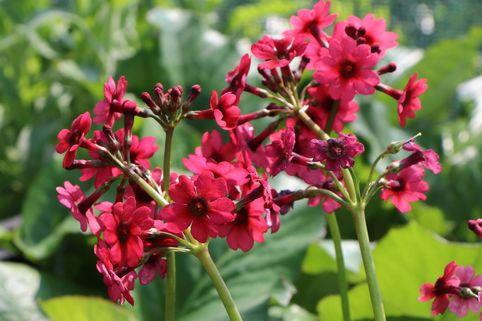 Etagen-Schlüsselblume 'Millers Crimson' - Primula japonica 'Millers Crimson'