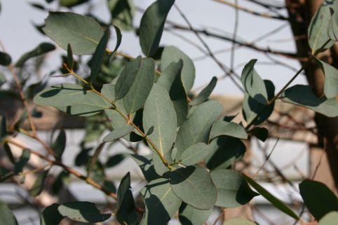 Mostgummi-Eukalyptus - Eucalyptus gunnii