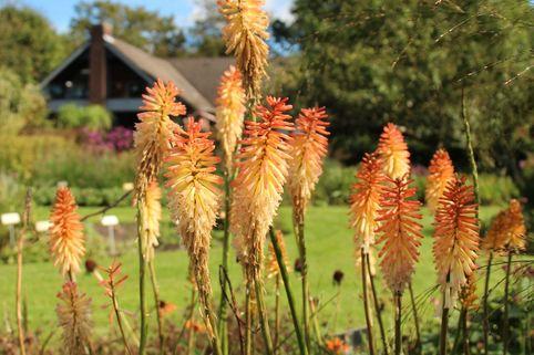 Fackellilie 'Safranvogel' - Kniphofia uvaria 'Safranvogel'