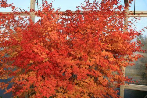 Fächer-Ahorn 'Beni Kawa' - Acer palmatum 'Beni kawa'