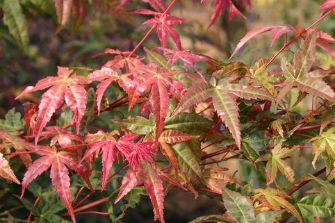 Fächer-Ahorn 'Beni komachi' - Acer palmatum 'Beni komachi'