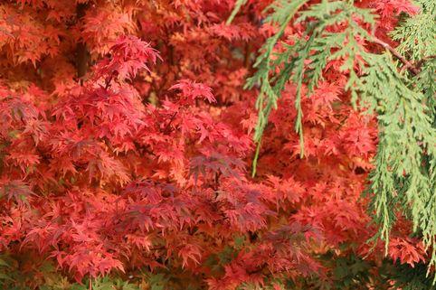 Fächer-Ahorn 'Coonara Pygmy' - Acer palmatum 'Coonara Pygmy'