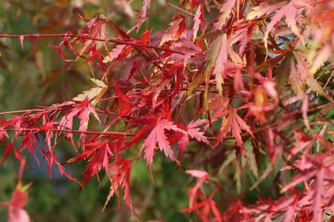 Fächer-Ahorn 'Groundcover' - Acer palmatum 'Groundcover'