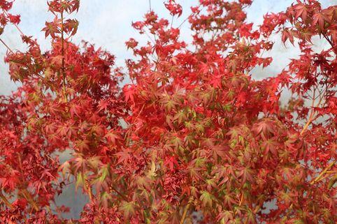 Fächer-Ahorn 'Katsura' - Acer palmatum 'Katsura'