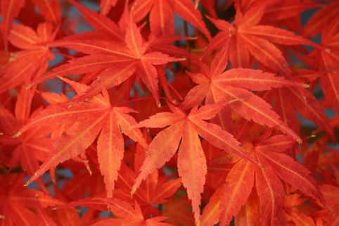 Fächer-Ahorn 'Koriba' - Acer palmatum 'Koriba'