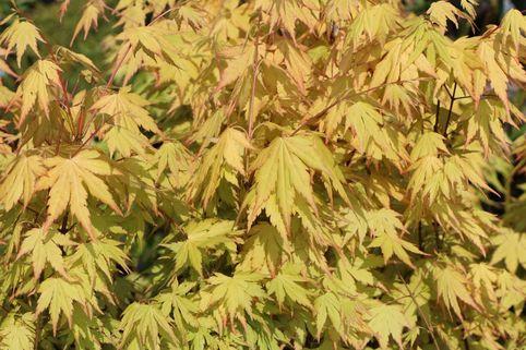 Fächer-Ahorn 'Orange Dream' - Acer palmatum 'Orange Dream'