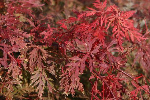 Fächer-Ahorn 'Orangeola' - Acer palmatum 'Orangeola'