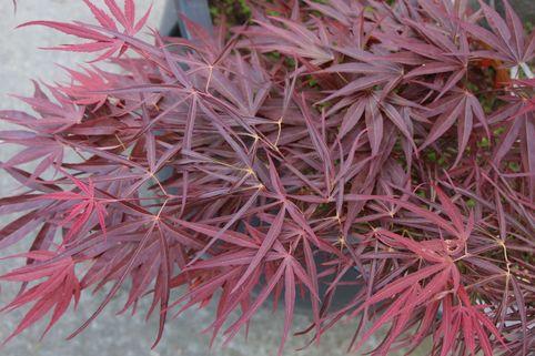 Fächer-Ahorn 'Red Pygmy' - Acer palmatum 'Red Pygmy'