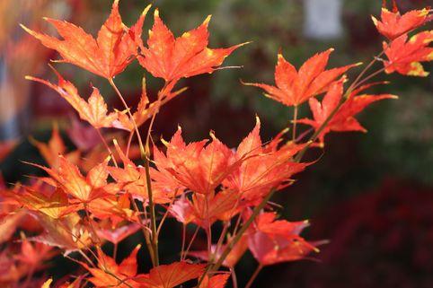 Fächer-Ahorn 'Reticulatum' - Acer palmatum 'Reticulatum'