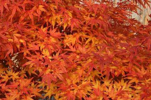 Fächer-Ahorn 'Seiun kaku' - Acer palmatum 'Seiun kaku'