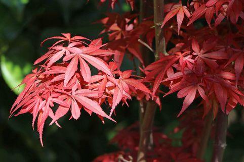 Fächer-Ahorn 'Shaina' - Acer palmatum 'Shaina'