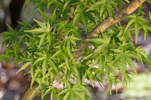 Fächer-Ahorn 'Sharp's Pygmy' - Acer palmatum 'Sharp's Pygmy'