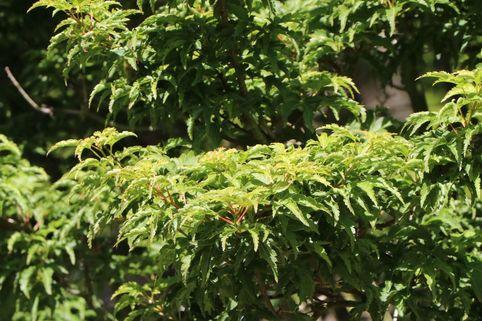 Fächer-Ahorn 'Shishigashira' / 'Cristatum' - Acer palmatum 'Shishigashira' / 'Cristatum'