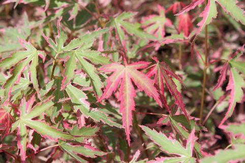 Fächer-Ahorn 'Taylor' - Acer palmatum 'Taylor' ®