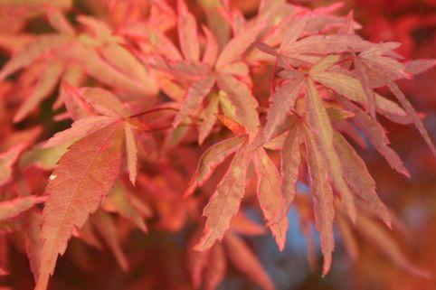 Fächer-Ahorn 'Tennyo no hoshi' - Acer palmatum 'Tennyo no hoshi'