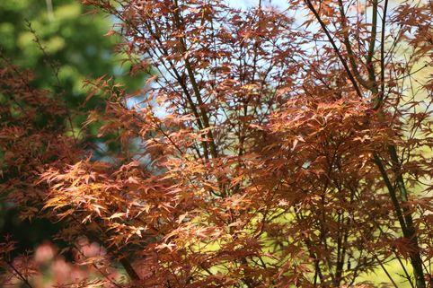 Fächer-Ahorn 'Wilson's Pink Dwarf' - Acer palmatum 'Wilson's Pink Dwarf'
